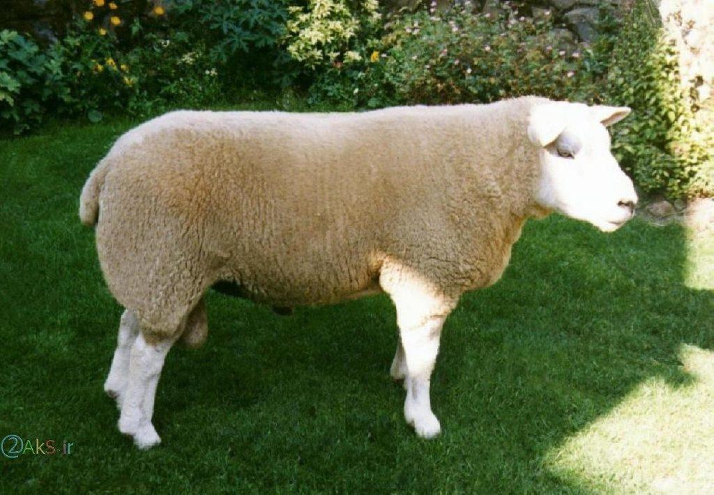 گوسفند خارجی