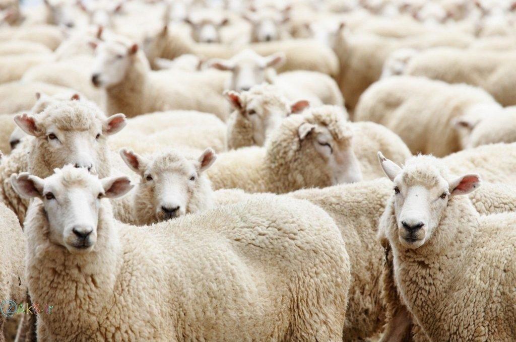 گوسفند سفید