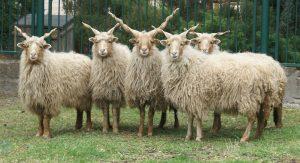 گوسفند ها