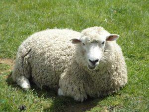 گوسفند HD