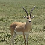 Image gazelle