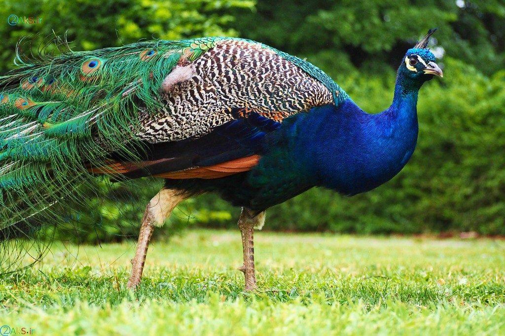 Image peacock