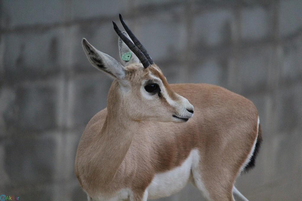 Images gazelle