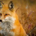 Photo Fox
