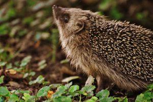Photo Hedgehog