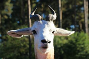 Photo gazelle