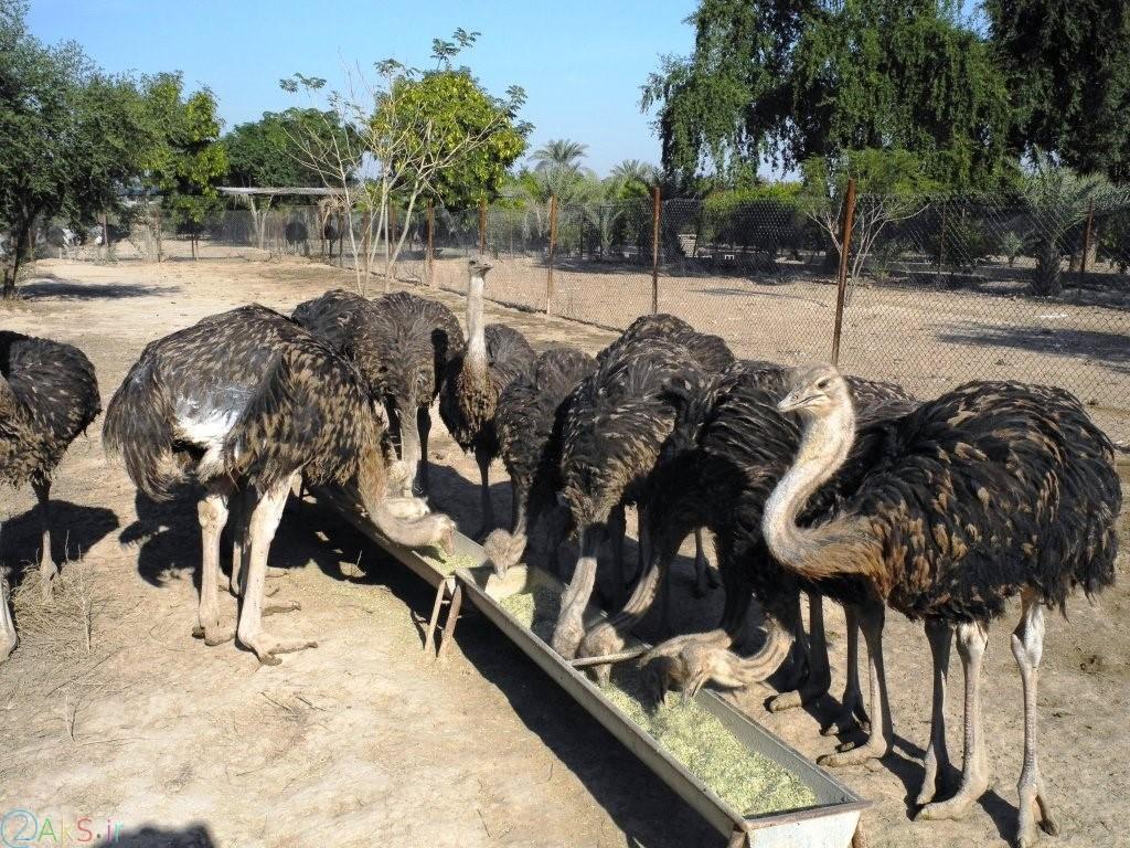 Photo ostrich