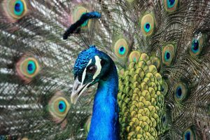 Photo peacock