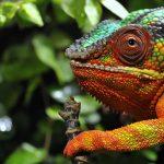 Photos Chameleon