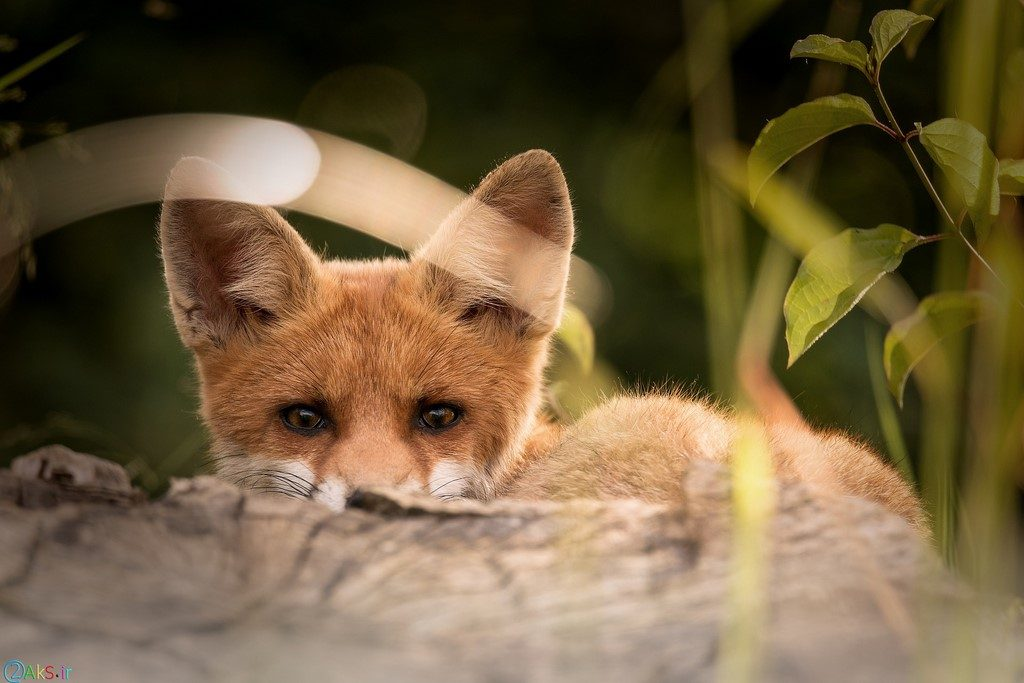 Photos Fox