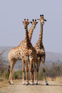 Photos Giraffe