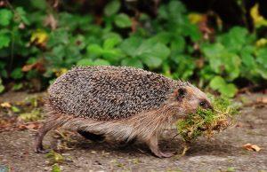 Photos Hedgehog