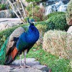 Photos peacock