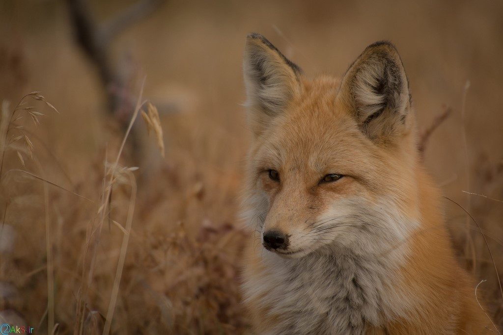 Pictures Fox