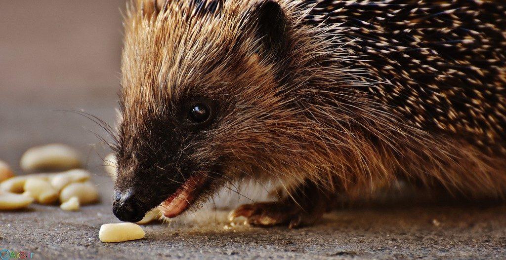 Pictures Hedgehog