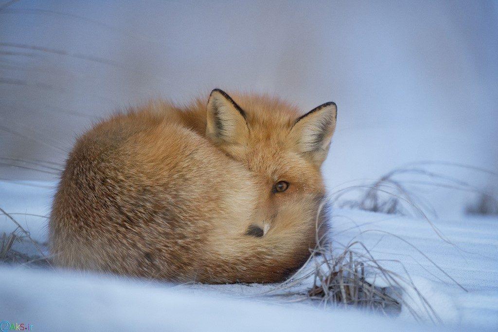 image Fox