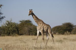 image Giraffe