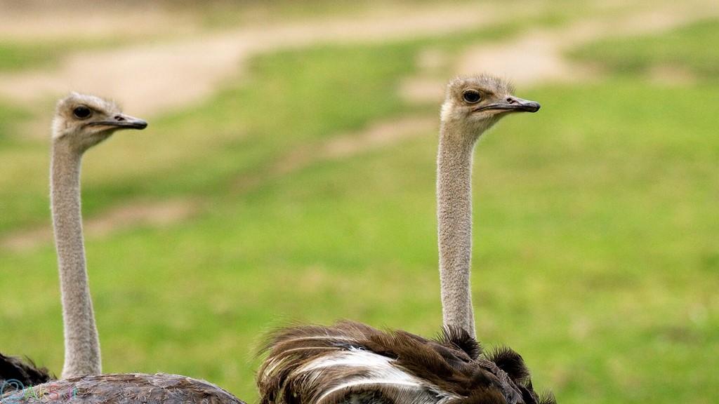 image ostrich