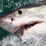 image shark