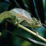 images Chameleon