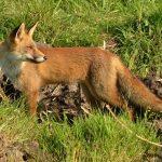 images Fox