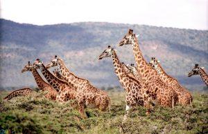images Giraffe