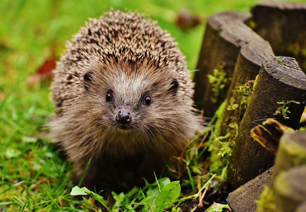 images Hedgehog
