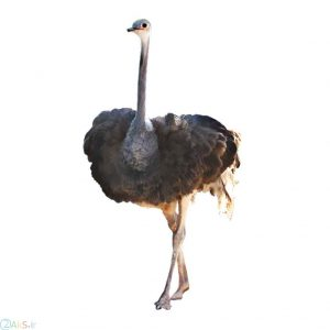 images ostrich