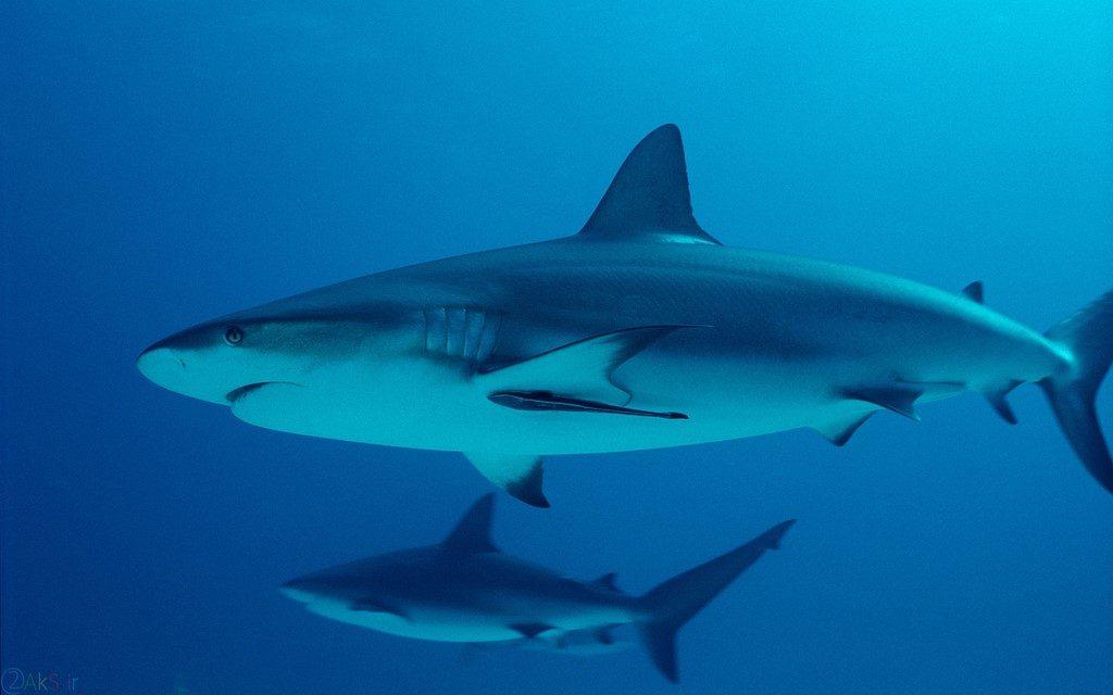 images shark