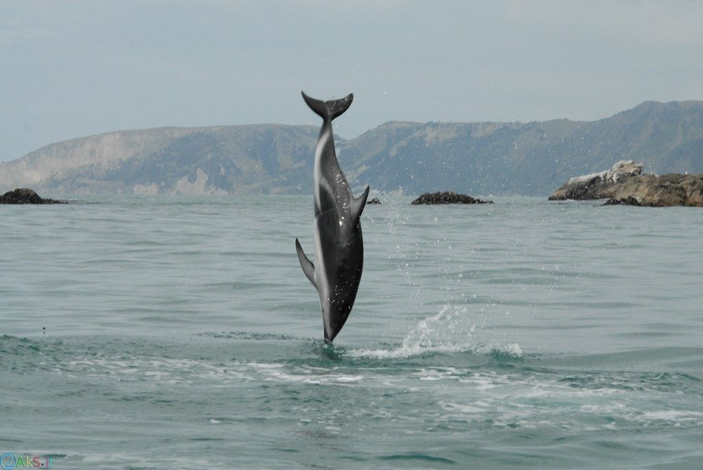 picture Dolphin
