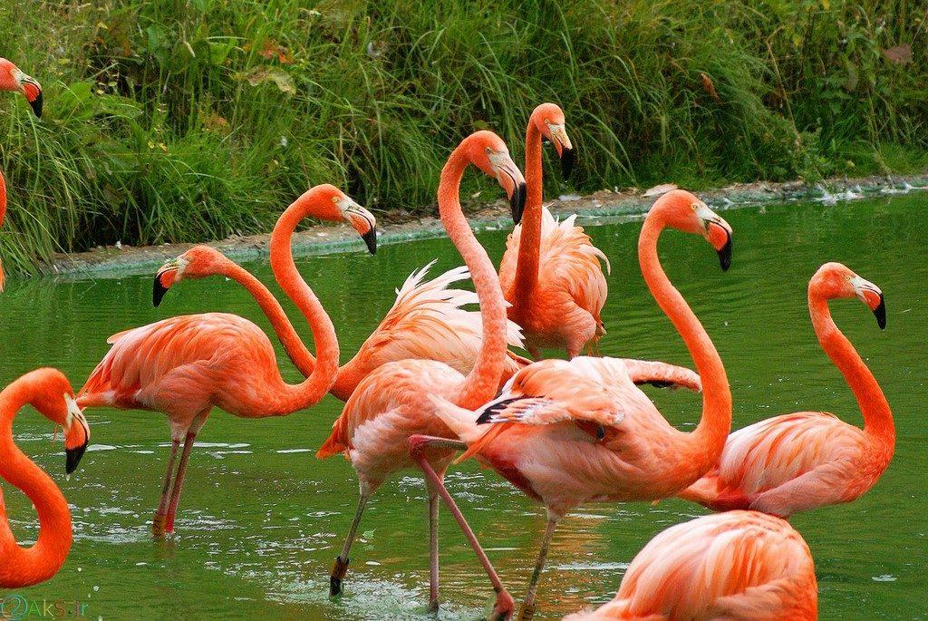 picture Flamingo