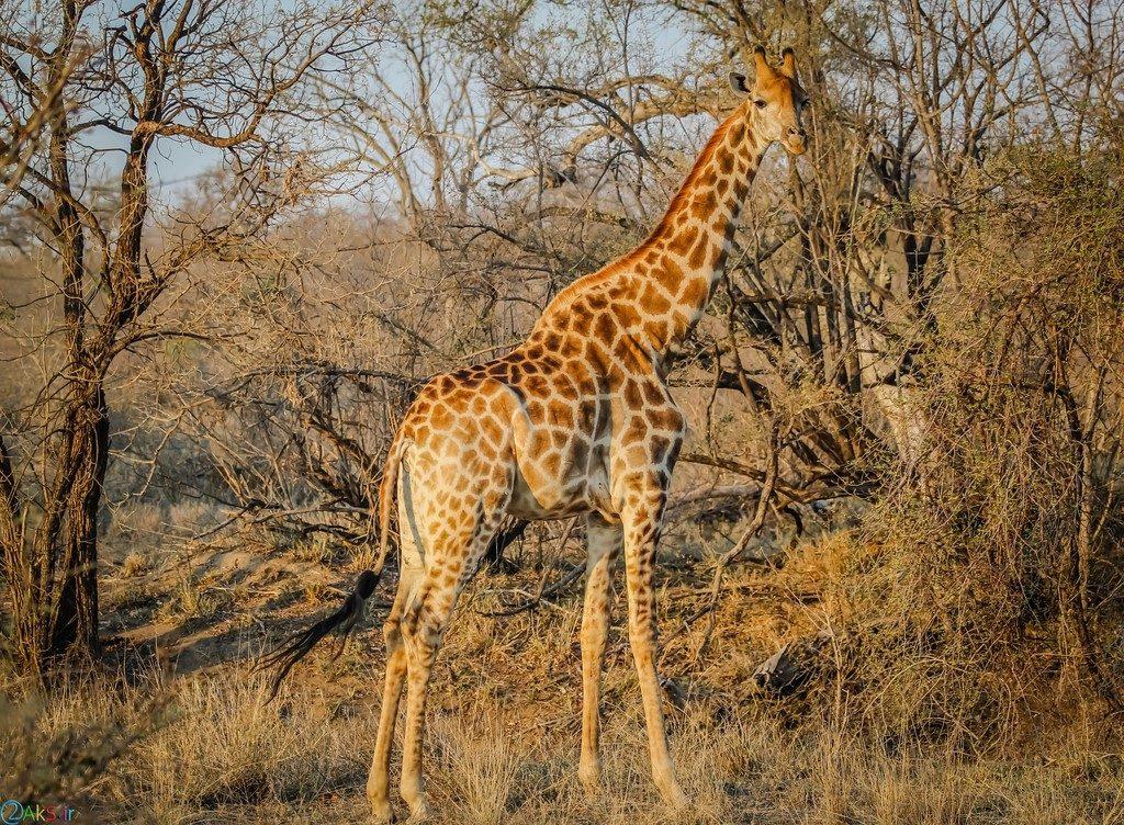 picture Giraffe