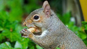 picture Squirrel