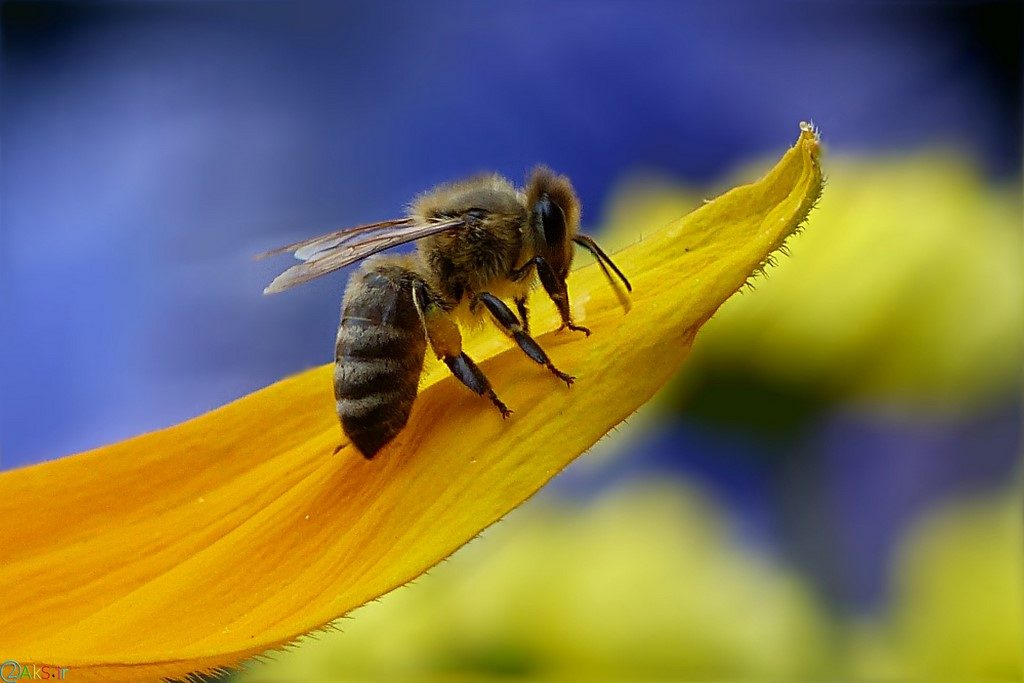 picture bee
