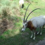 picture gazelle