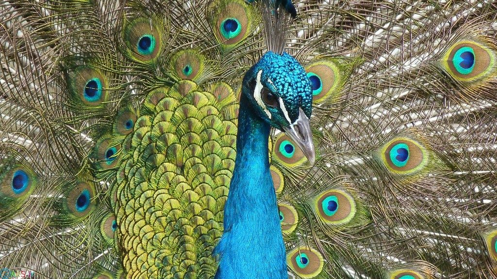 picture peacock