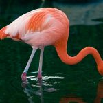 pictures Flamingo
