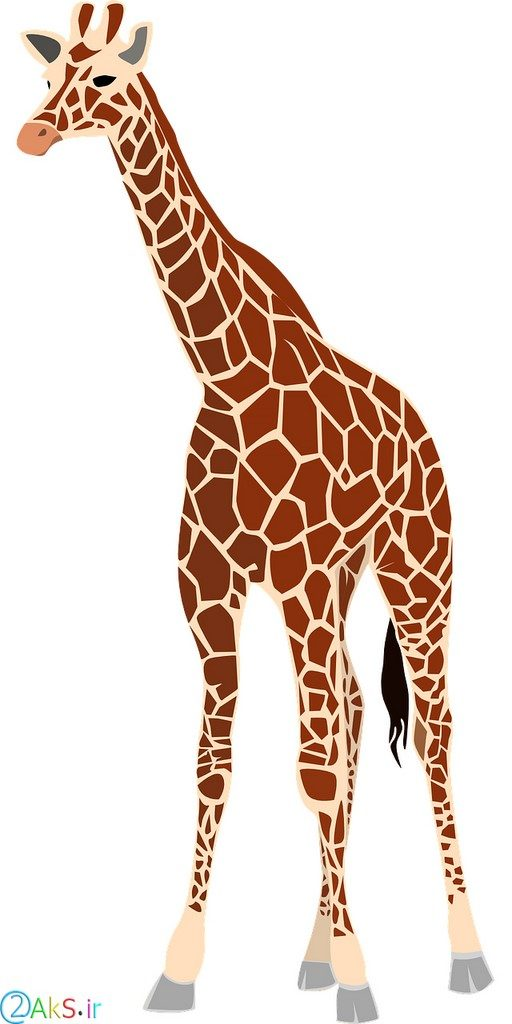 pictures Giraffe