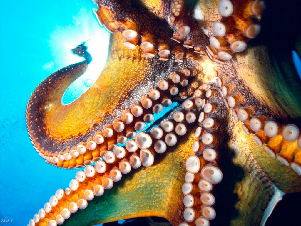pictures Octopus