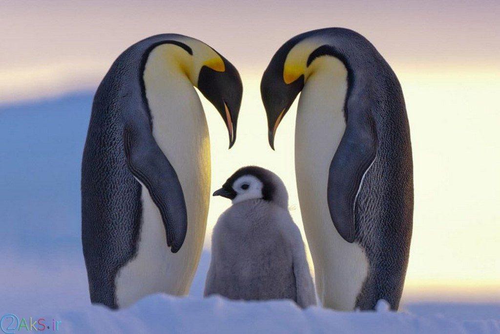 pictures Penguin