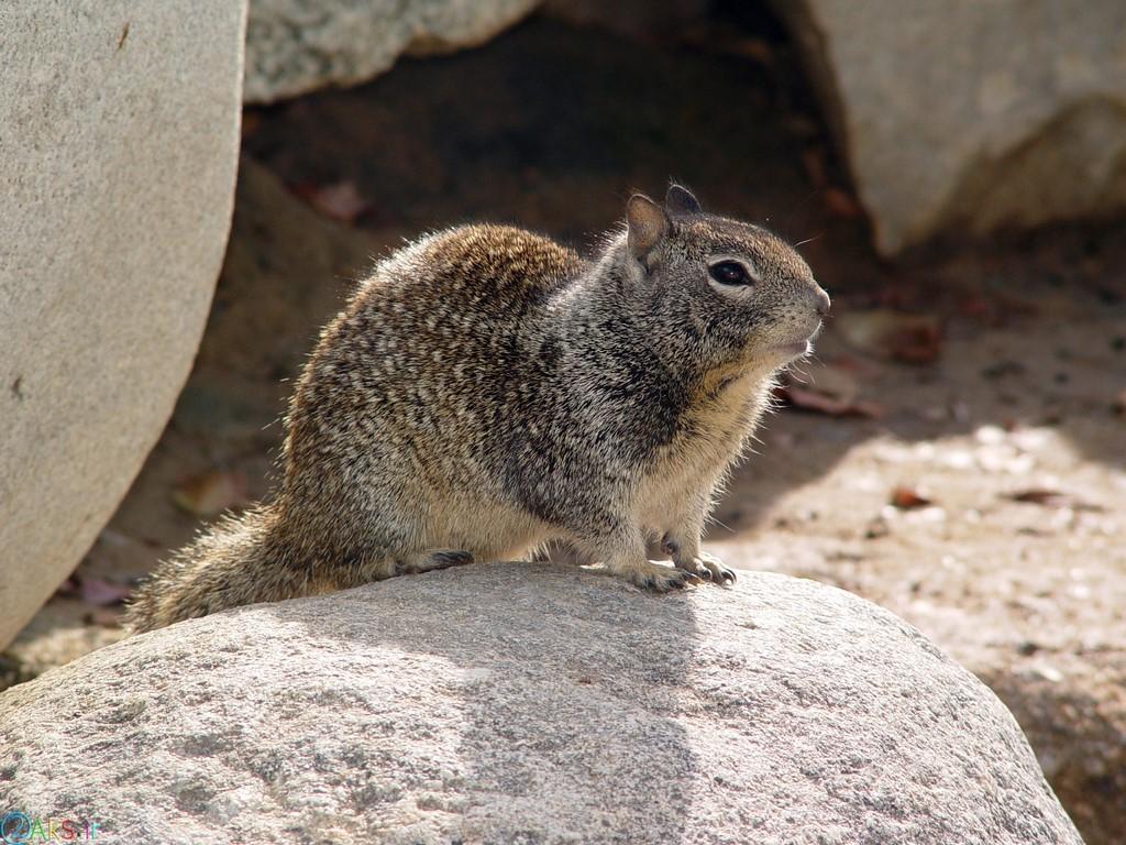 pictures Squirrel