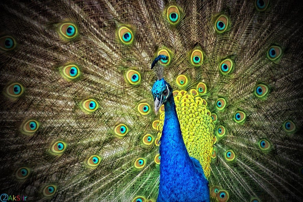 pictures peacock