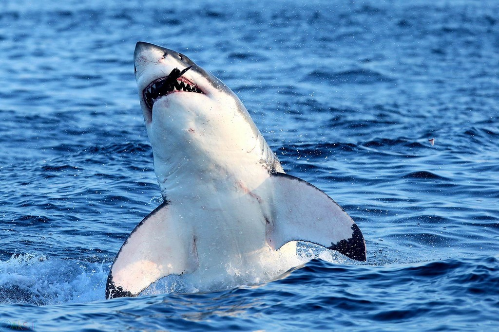 pictures shark